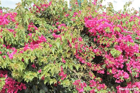 growing bougainvillea in pots bougainvillea plant care how to grow and prune this flower plantopedia