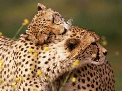 Cheetah |the Garden Of Eaden