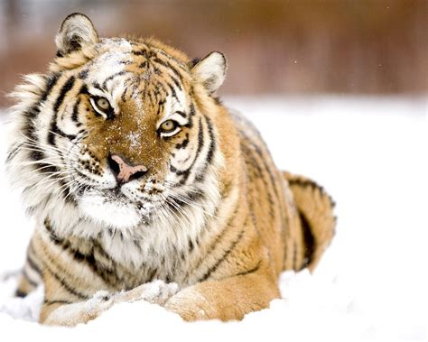 Tiger In Snow Widescreen Wallpaper