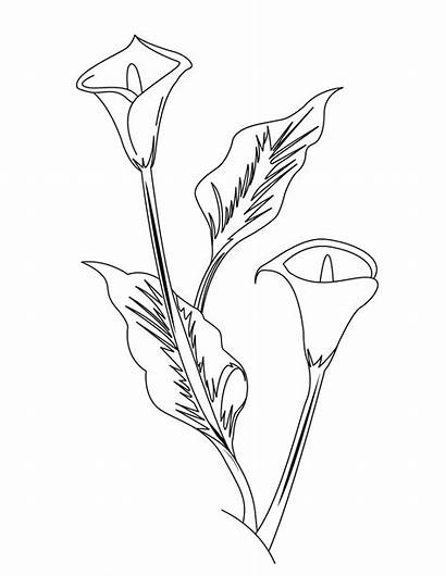 Coloring Lily Flower Colorear Flores Pintar Arum