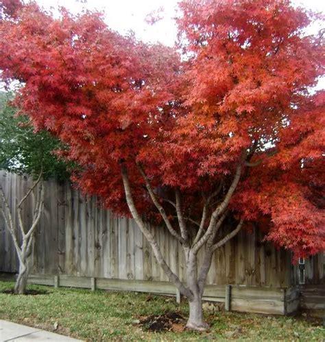 japanese maple species japanese maples varieties species japanese maple tree texas gardening forum gardenweb