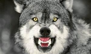 Gray Wolf ~ Animals World
