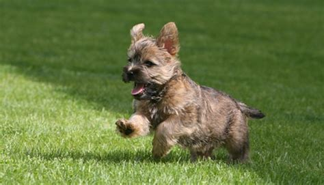 100 cairn terrier non shedding small dogs best 25