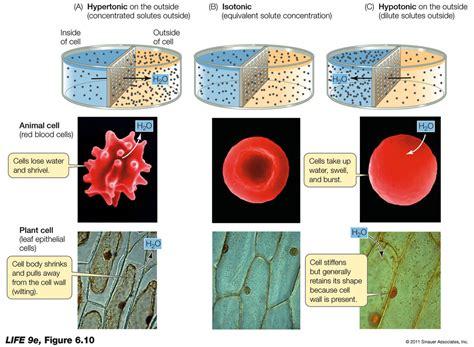 cell types prokaryotes  eukaryotes plant  animal