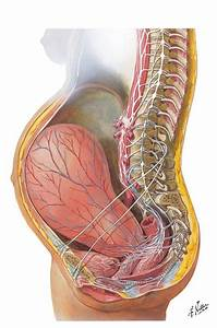 View Of A Pregnant Uterus  Look At The Stretch Of Those