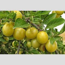 Mirabelle Plum Tree Yellow Plums · Free Photo On Pixabay