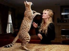 ashera cat the most expensive cat breeds in the world purrfect cat