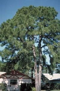Maintenance Sheet Longleaf Pine Tree Selection Landscape Plants Edward