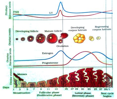 Luteal Phase Menstrual Cycle Secretory Phase Menstrual