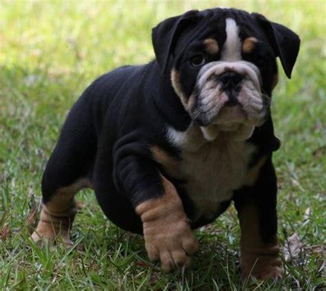 bulldog colors bulldog puppy tri color bully bully