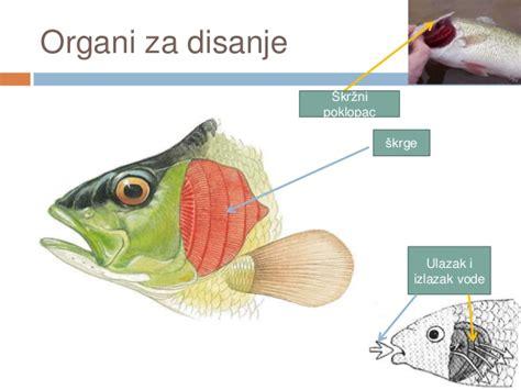 Kako ribe dišu pod vodom?   List MUŠIČAR