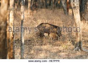 boar india hunting pig wild dog kill slay run down Nature ...