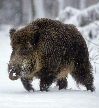ideas  wild boar  pinterest wild boar