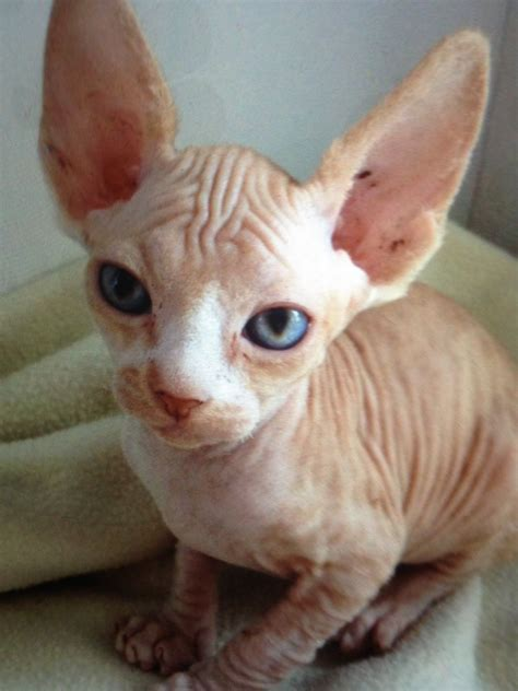 bold cat bold and wrinkly sphynx kittens preston lancashire pets4homes