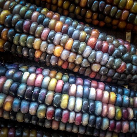 glass gem seeds glass gem corn seeds all good things organic seeds