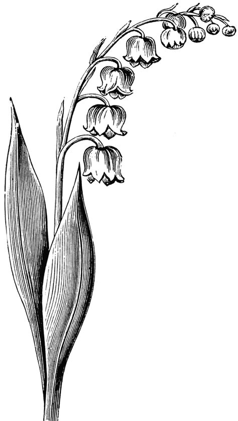 Flowering Stem of the Lily of the Valley | ClipArt ETC