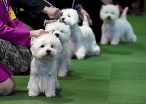 140th westminster kennel club dog show With show me dog kennels