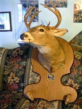 large  point deer shoulder mount  nice plaque  man