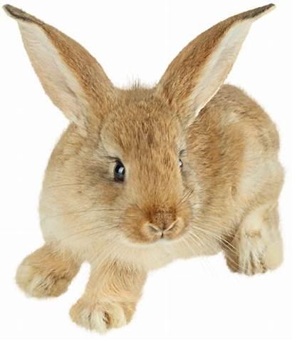 Easter Fur Rabbit Cottontail Hare Bunny Transparent