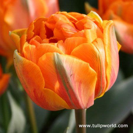do tulips need sun or shade 28 best images about favorite tulips on pinterest tulip