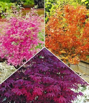 Asia Garten Pflanzen by Japanische Ahorn Kollektion Hecken Str 228 Ucher Garten