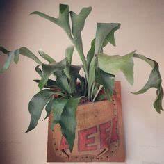 Geweihfarn Begrünung Zimmer Pflanze blühend Succulent