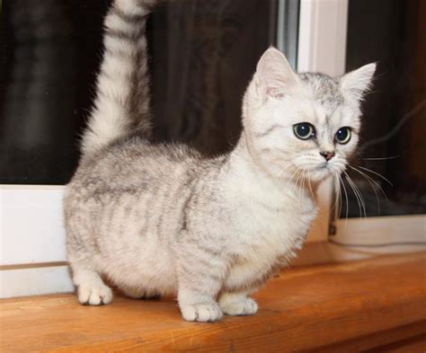 These Munchkin Cats Might Be The Cutest Animals You'll