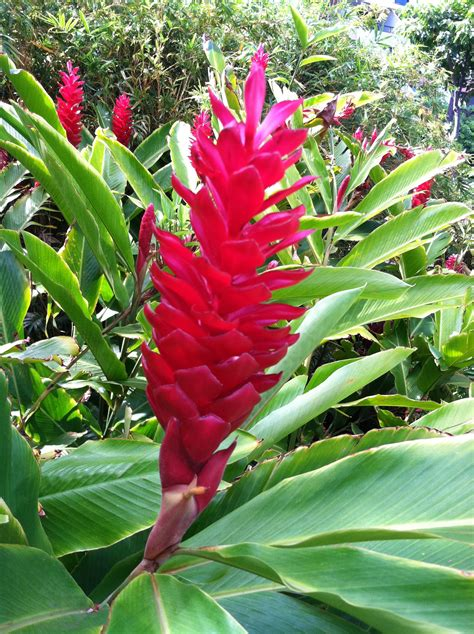 tropical plants of hawaii hawaiian plant tropical landscape ideas pinterest