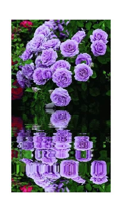 Roses Gifs Flowers Animated Purple Rose Flower