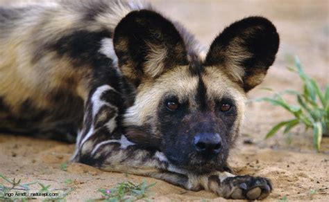 latest funny pictures african wild dogs  pictures
