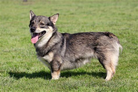 swedish vallhund info temperament care puppies pictures
