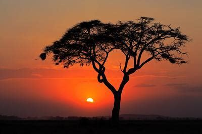 sunset  silhouetted african acacia tree amboseli