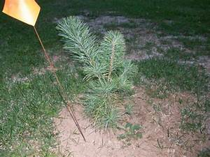 Panoramio - Photo of White Pine Tree Seedling (sort of)