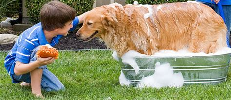 How Often To Shower Puppy by How Often Do You Bathe A A Guide For Washing Your Golden