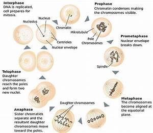 The 4 Mitosis Phases  Prophase  Metaphase  Anaphase  Telophase
