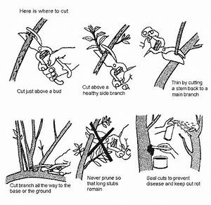 Apple Tree Pruning Diagram