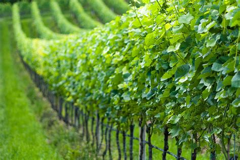 grape plant pictures free photo grapevine nature vines grapes free image on pixabay 1677148