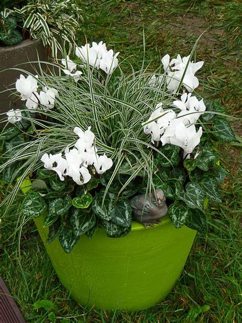 cyclamen exterieur hiver photo de fleur une pensee
