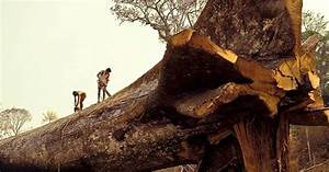 Loggers Accidentally Cut Down World's Oldest Tree in ...