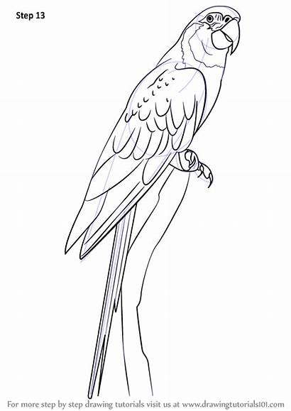 Macaw Draw Drawing Step Throated Realistic Birds