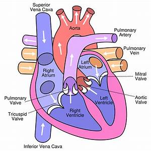 Circulatory System  Blood Flow Pathway Through The Heart