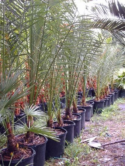 Palm Fan Tree Trees Medjool Palms Mexican