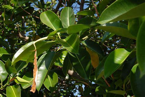 gummibaum im freien gummibaum 187 welche temperatur braucht er zum wohlf 252 hlen