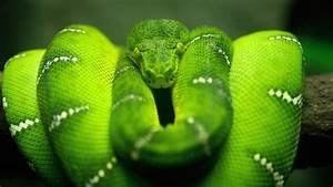 Green Python Snake Wallpaper for 1920x1080