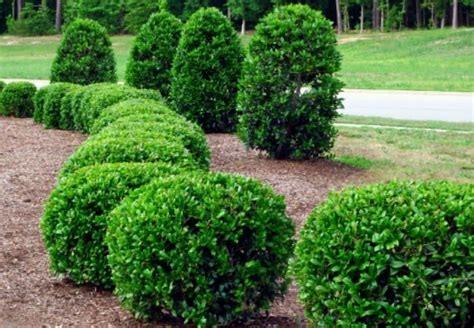trimming bushes top 28 trim bushes when and how to prune a lilac bush