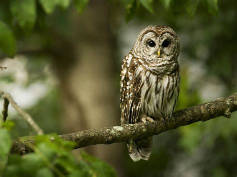 Owl Wallpapers wallpapers owl