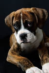 Boxer Puppy Face