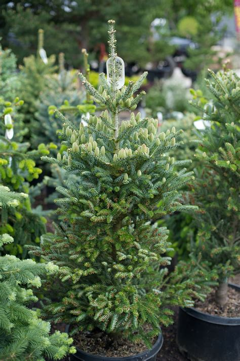 fir korean silberlocke horstmann trees tree evergreen colorado coniferous nursery plants creeksideboulder