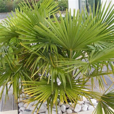 planter palmier en pot 28 images 1 palmier en pot int 233 rieur plante jardin tropical