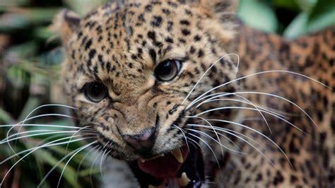 wallpaper  leopard teeth anger
